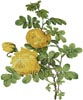 Rosa Sulfurea - Cross Stitch Chart