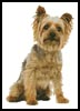 Silky Terrier - Cross Stitch Chart