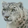 Snow Leopard Photo - Cross Stitch Chart