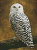 Snowy Owl - Cross Stitch Chart