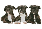 Staffordshire Bull Terrier Puppies - Cross Stitch Chart