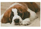 St Bernard Photo - Cross Stitch Chart