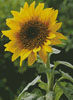 Sunflower (Large) - Cross Stitch Chart