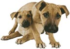 Tan Mastiff Puppies - Cross Stitch Chart