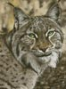 The Lynx Effect - Cross Stitch Chart