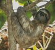 Three Toed Sloth - Cross Stitch Chart