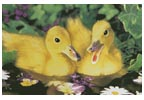 Two Ducklings - Cross Stitch Chart