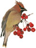 Waxwing - Cross Stitch Chart