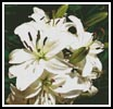 White Lilies Photo - Cross Stitch Chart