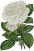 White Roses Print - Cross Stitch Chart