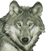Wolf Close Up (No Background) - Cross Stitch Chart