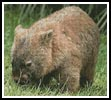Wombat 2 - Cross Stitch Chart