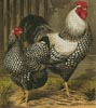 Wyandotte Chickens - Cross Stitch Chart