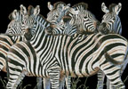 Zebra Huddle - Cross Stitch Chart